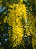 Anagyroides di maggiociondolo o pianta della pioggia dorata Fotografia Stock Libera da Diritti