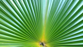 Anahaw - la feuille nationale philippine (rotundifolia de Livistona) image libre de droits