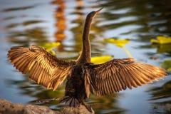 Anahinga rozgrzewkowy up w Floryda słońcu Obraz Royalty Free