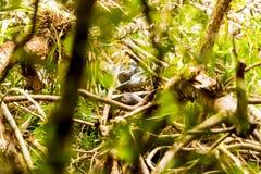 Anakonda-Schlange in ihrem natürlichen Lebensraum lizenzfreies stockbild