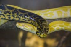 Anakonda und weiße Pythonschlange am Zoo lizenzfreies stockbild