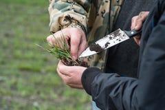 Analice el desarrollo de los almácigos verdes del trigo en el campo en la primavera Manos del granjero y del agrónomo que sostien foto de archivo libre de regalías