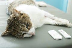 Analisi del sangue veterinaria Fotografie Stock Libere da Diritti