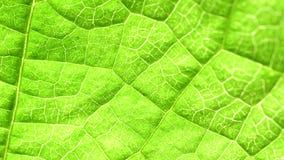 Analisi verde della foglia stock footage