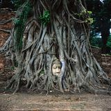 Buddha head embraced by tree in Wat Mahatat Royalty Free Stock Photo
