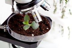 Analyse d'échantillon de sol avec la jeune usine sous le microscope Images libres de droits