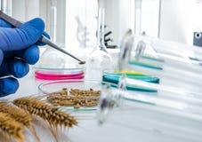 Analyse de culture cellulaire à examiner génétiquement modifié photos libres de droits