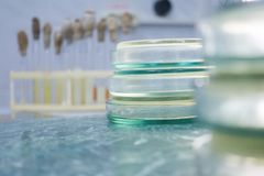 Analysis of bacterial cultures in petri dishes. Petri dishes on the desktop in the laboratory. Analysis of bacterial cultures in petri dishes. Working with royalty free stock photos