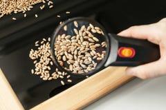 Analysis of wheat grain health in a farm laboratory. Visual analysis of wheat grain health using magnifying glass in a farm laboratory stock photography