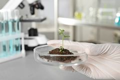 Analytiker som rymmer den petri maträtten med grön sprou arkivbild