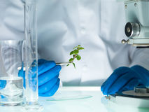 Analyzing a plant in the lab. Image showing a person's hands in blue rubber glove holding a small leafy plant with tweezers next to a microscope and laboratory Royalty Free Stock Photography