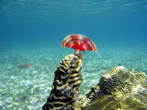 anamobaea珊瑚orstedii 免版税库存照片