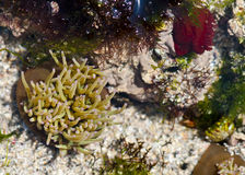 Anamones and algae in a rock pool Royalty Free Stock Image