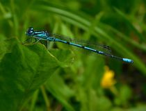 Coenagrion puella, Azure damselfly. Anamorphic blue dragonfly Arrow Southern Coenagrion mercuriale. Blue Damselfly Coenagrionidae insect on a green herb leaf stock images