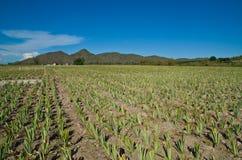 Ananasów gospodarstwa rolne Zdjęcia Stock
