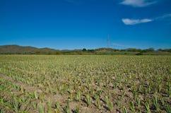 Ananasów gospodarstwa rolne Zdjęcie Stock