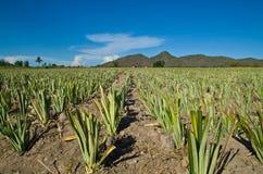 Ananasów gospodarstwa rolne Obraz Royalty Free