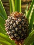 Ananas Immagini Stock