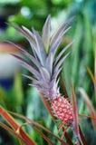 Ananas (Ananascomosus) Royaltyfri Bild