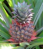 Ananas auf Baum - botanische Gärten Singapurs Lizenzfreie Stockfotos