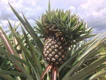 Ananas auf Baum im Garten lizenzfreies stockbild