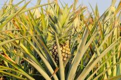 Ananas auf einem Gebiet Stockfotografie