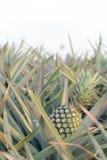 Ananas auf Gebiet -2 Stockbild