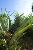 Ananas auf Plantage lizenzfreie stockbilder