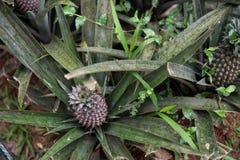 Ananas-Bauernhof im Gewürz-Garten Stockfotografie