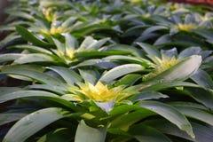 Ananas color2 Lizenzfreie Stockfotografie