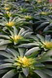 ananas color3 Royaltyfri Bild