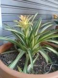 Ananas Coloring1 royalty-vrije stock fotografie
