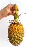 Ananas con il gambo lungo Fotografia Stock Libera da Diritti