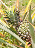 Ananas con le foglie dell'ananas Fotografia Stock Libera da Diritti