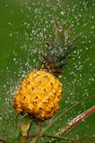Ananas croissant sous l'arroseuse de l'eau Photographie stock