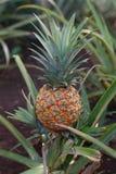 Ananas d'Hawaï Photos libres de droits