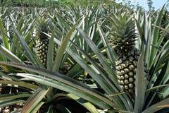 Ananas dans un terrain Images libres de droits