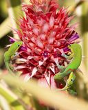 Ananas de geckos image stock