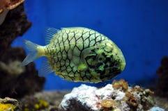 Ananas de poissons d'eau de mer Images libres de droits