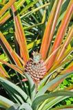 Ananas del giardino Immagini Stock