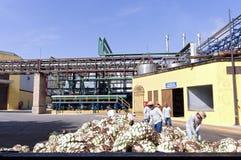 Ananas dell'agave alla distilleria fotografie stock