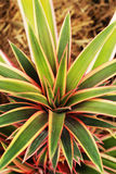 Ananas delle foglie che crescono nella natura. Fotografia Stock Libera da Diritti