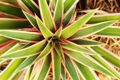 Ananas delle foglie che crescono nella natura. Fotografia Stock