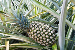 Ananas in der Nahaufnahme stockfotos