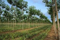 Ananas en rubberboomaanplanting. Royalty-vrije Stock Afbeelding