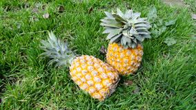 Ananas in erba verde Un giorno soleggiato luminoso le foto degli ananas sono fatte Fotografia Stock Libera da Diritti