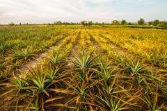 Ananas farm10 lizenzfreie stockfotos