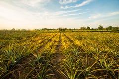Ananas farm4 Fotografia Stock Libera da Diritti