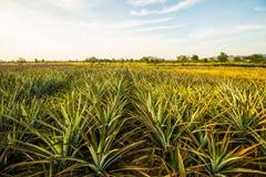 Ananas farm6 Fotografia Stock