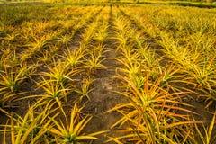 Ananas farm5 Fotografia Stock Libera da Diritti